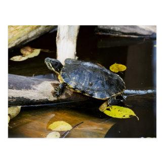 Cartão Postal Tartaruga do slider da lagoa no selvagem