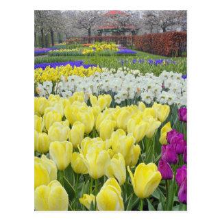 Cartão Postal Tulipas, daffodils, e flores do jacinto de uva,
