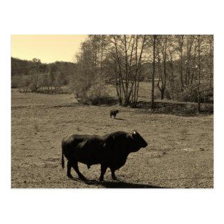 Cartão Postal Vaca, touro preto. Foto do tom do Sepia