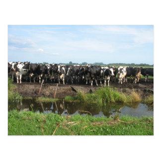 Cartão Postal Vacas curiosas de Holstein do frisão