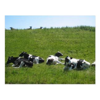 Cartão Postal Vacas de Holstein do Frisian