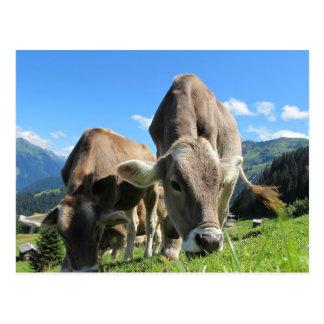 Cartão Postal Vacas em Áustria