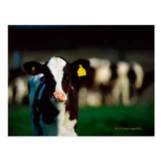 Cartão Postal Vitela do Holstein-Frisão