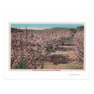 Cartão Postal Wenatchee, WAView de árvores de Apple na flor