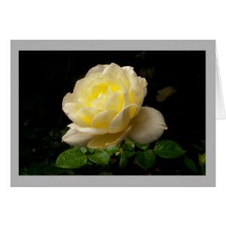 Cartão Rosa branco no jardim da primavera com gotas de
