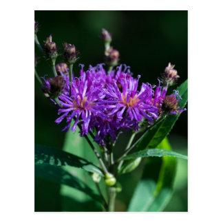 Cartão roxo do Wildflower do Ironweed apalaches Cartão Postal