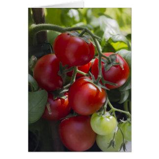 Cartão tomates no jardim