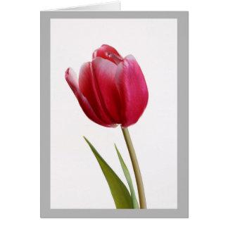 Cartão Tulipa vermelha pura no fundo branco puro