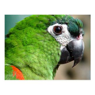 Cartão verde do papagaio cartão postal