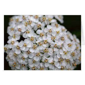 Cartão Yarrow comum (millefolium de Achillea)