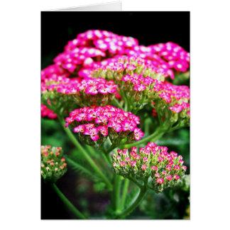 Cartão Yarrow cor-de-rosa