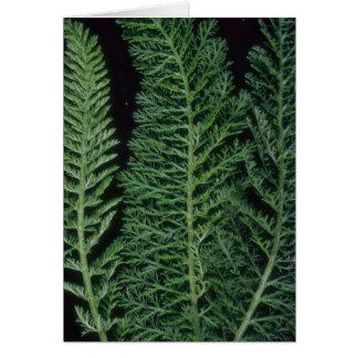 Cartão Yarrow da planta
