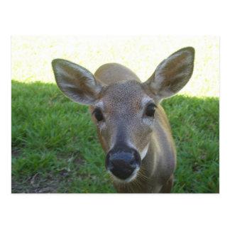 Cervos chaves de Florida Cartão Postal