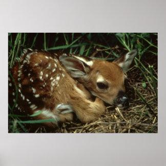 Cervos da jovem corça da cauda branca poster