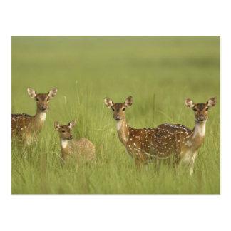 Cervos de Chital e novo, nacional de Corbett Cartão Postal