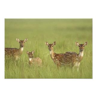 Cervos de Chital e novo, nacional de Corbett Impressão De Foto