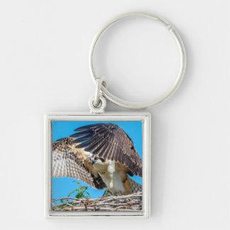 Chaveiro Osprey juvenil no ninho