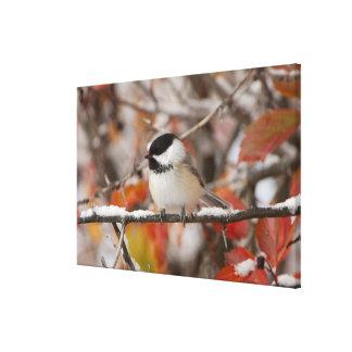 Chickadee Preto-tampado adulto na neve, grande Impressão Em Canvas
