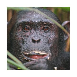 Chimpanzé (Troglodytes da bandeja) que olha de Impressão De Canvas Envolvidas