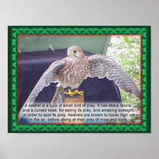 Ciência, animais, pássaros, Kestrel Posters