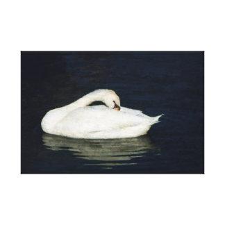 Cisne Preening Impressão Em Canvas