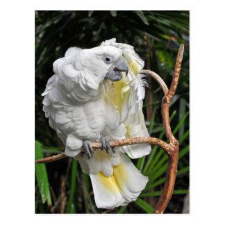Cockatiel branco bonito cartão postal