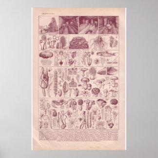 Cogumelos históricos do vintage 1920 poster