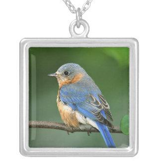 Colar Banhado A Prata Bluebird oriental fêmea, sialis do Sialia