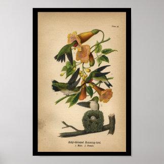 Colibri 1890 Rubi-throated do impressão do pássaro
