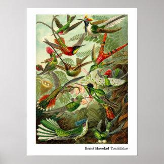 Colibri do Trochilidae de Ernst Haeckel Poster