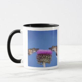 colibri Largo-atado, Selasphorus Caneca