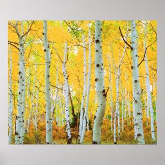 Cores da queda das árvores 1 de Aspen Posters