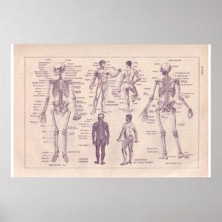 Corpo humano do vintage 1920 históricos poster