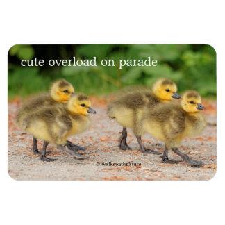 Cuteness na parada: Ganso do ganso de Canadá Foto Com Ímã Retangular