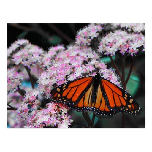 Danaus Plexippus da borboleta de monarca masculino Cartão Postal
