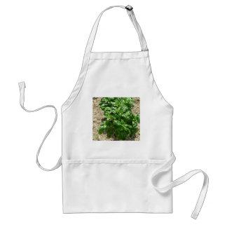 Disposição de plantas da manjericão avental