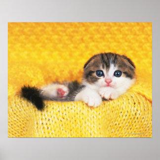 Dobra do Scottish; é uma raça do gato com um natur Poster