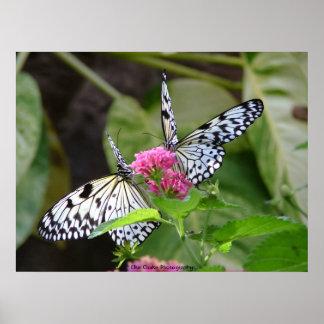 Duas borboletas na fotografia da flor posteres