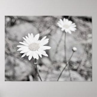 Duas flores brancas preto e branco pôster