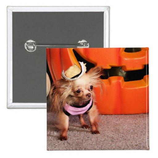 Dutchess - chihuahua - Photo-7 Boton