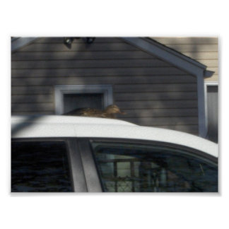 e sim aquele é um pato sobre um carro posteres