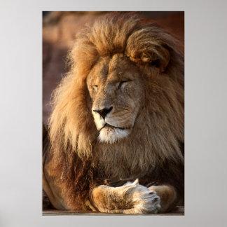 Embebendo acima o Sun, rei do leão da selva mim Poster