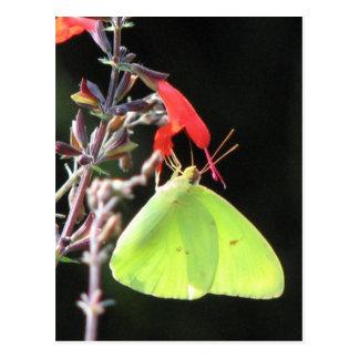 Enxofre no cartão de Salvia
