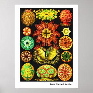 Ernst Haeckel Ascidiae Poster