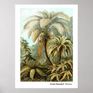 Ernst Haeckel Filicinae Poster