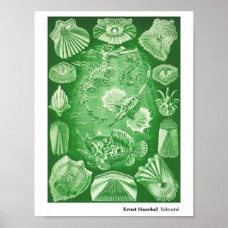 Ernst Haeckel Teleostei Poster
