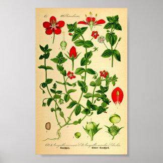 Escarlate de Pimpernel (caerulea do Anagallis) Posters