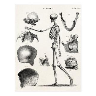 Esqueletos antigos de esqueleto da anatomia dos cartão postal