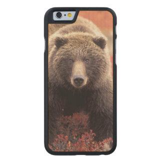 EUA, Alaska, Denali NP, urso de urso fêmea