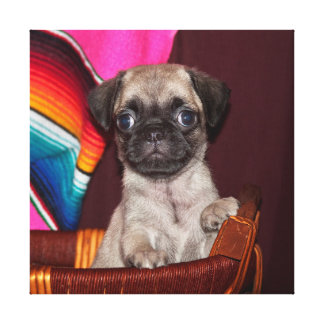 EUA, Califórnia. Filhote de cachorro do Pug em uma Impressão De Canvas Envolvidas